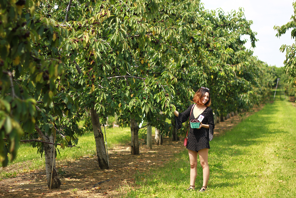 westview-orchards-cherry-picking-michigan8