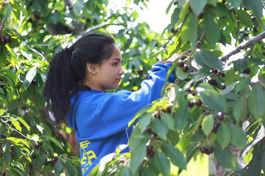 westview-orchards-cherry-picking-michigan1