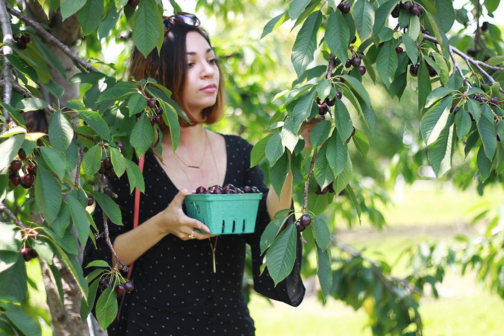westview-orchards-cherry-picking-michigan12