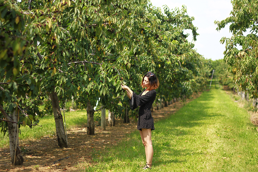 westview-orchards-cherry-picking-michigan16