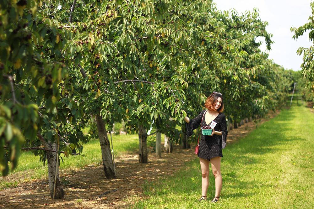 westview-orchards-cherry-picking-michigan8