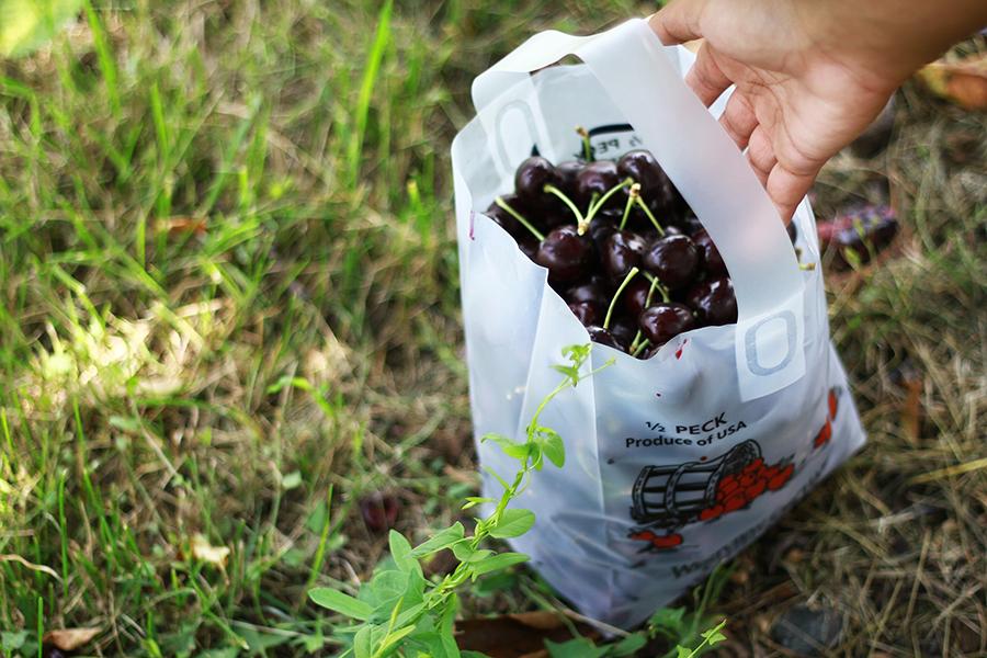 westview-orchards-cherry-picking-michigan9